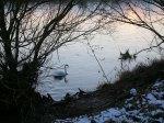 Swans on the Tweed