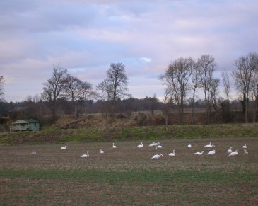 wintering swans