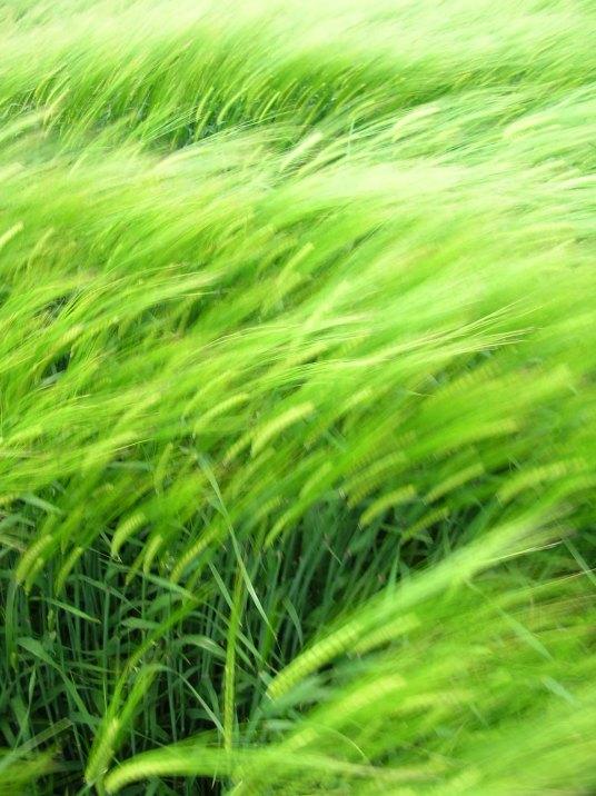 wheat15