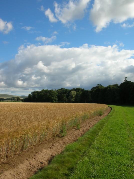 barley15
