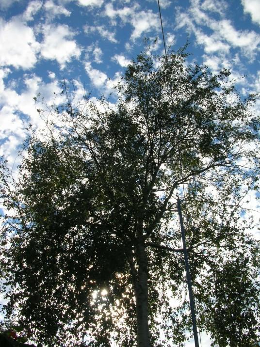 birch, washing line, sky