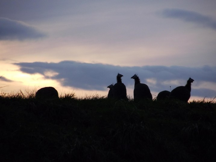 guinea fowl in the sunset