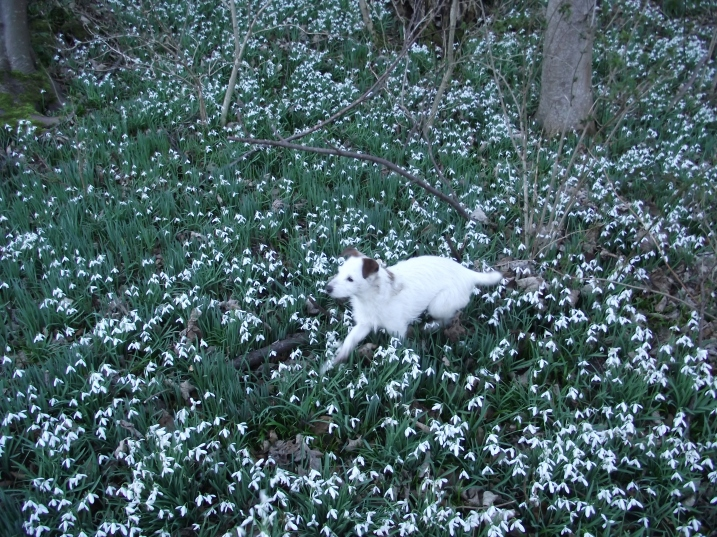 Dog and Snowdrops