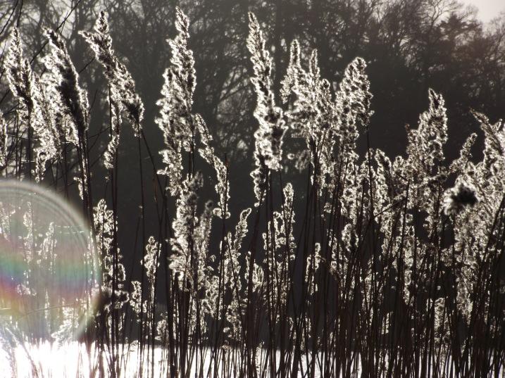 reeds and sun