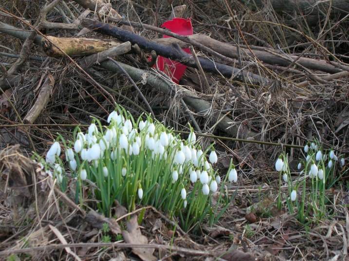 Snowdrops and rubbish
