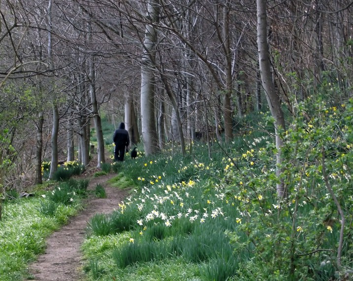 Walking Through the Daffodil Wood