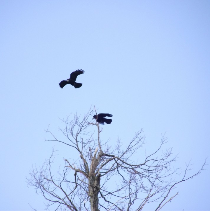 rooks and tree