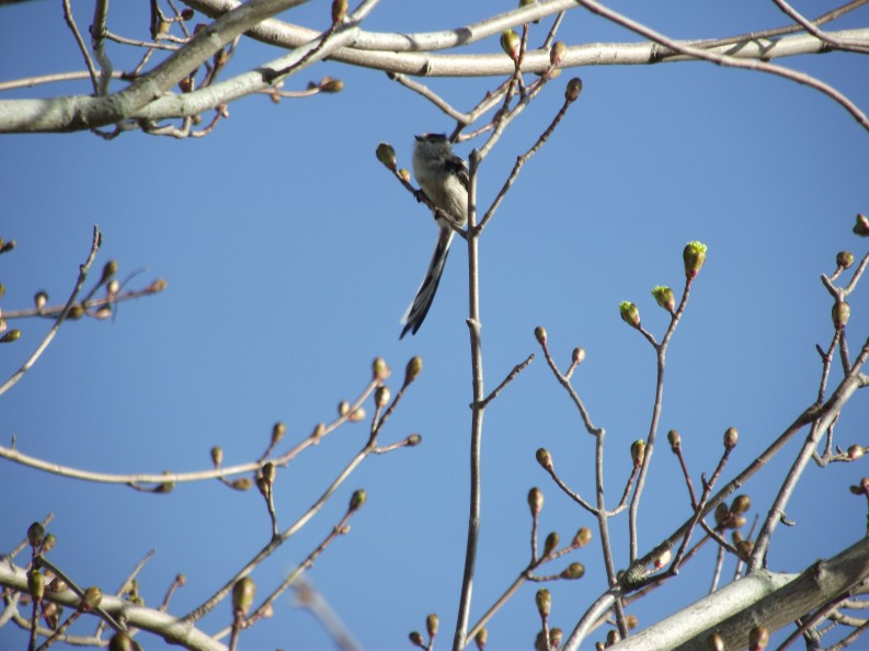 long-tailed tit and buds