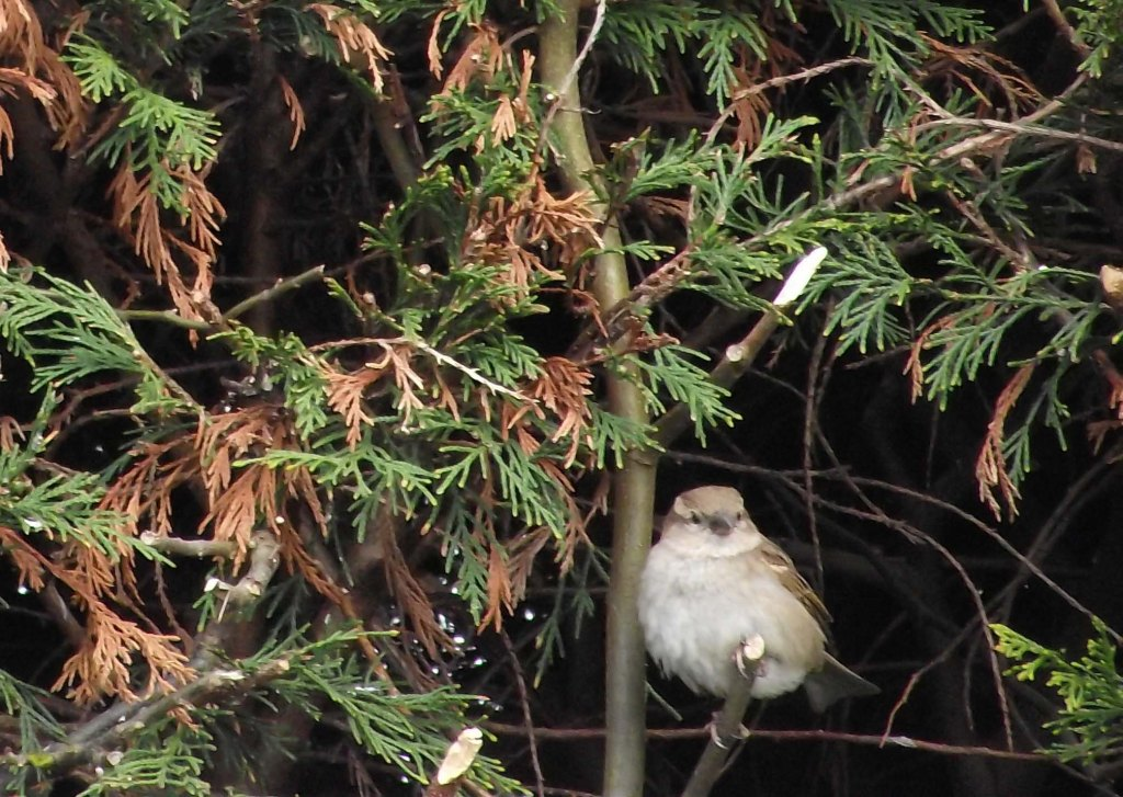 sparrow in the hedge
