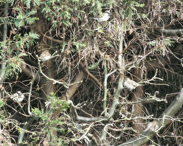 sparrows in the hedge4
