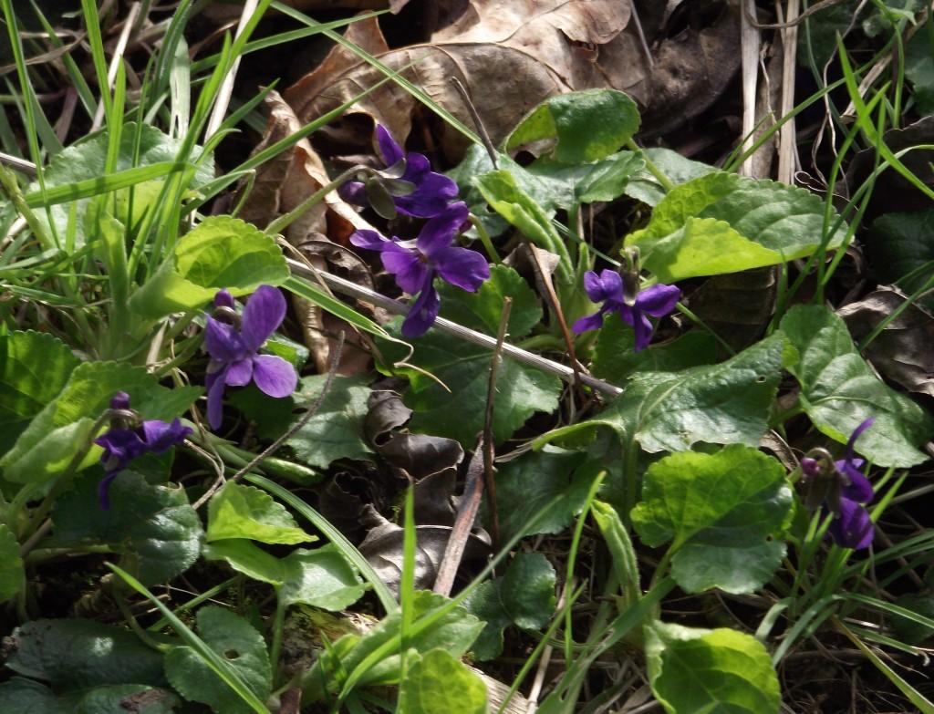 violets7