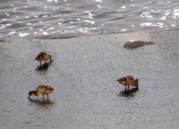 three ducklings
