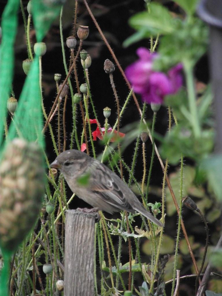asparrow