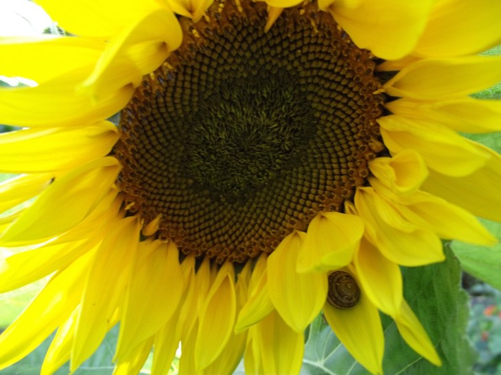 sunflower and snail