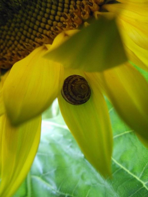asunflowersnail