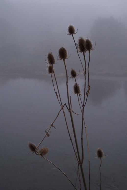 teasels and mist