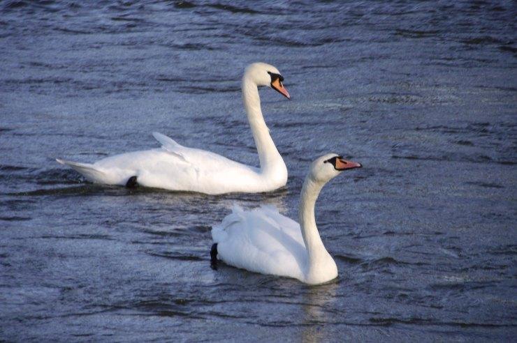 aswans