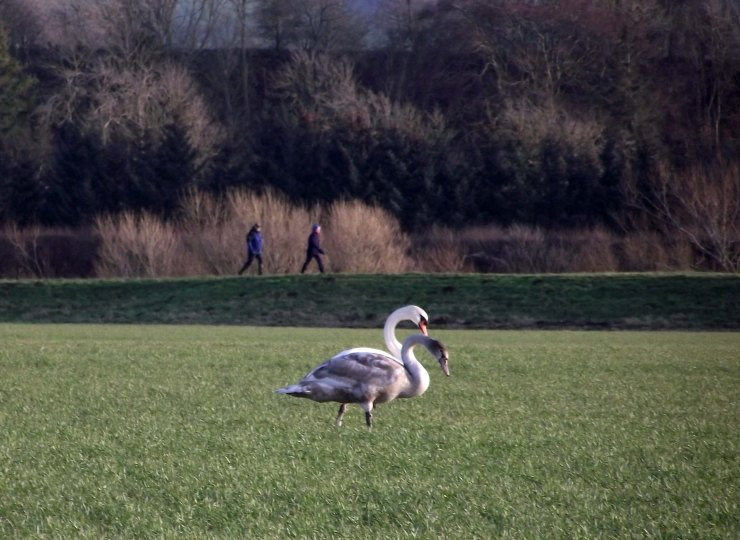 walkers and swans