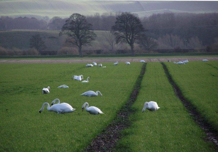awintering swans