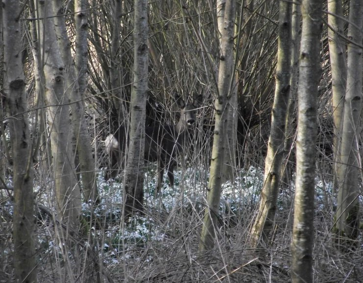 deer and snowdrops
