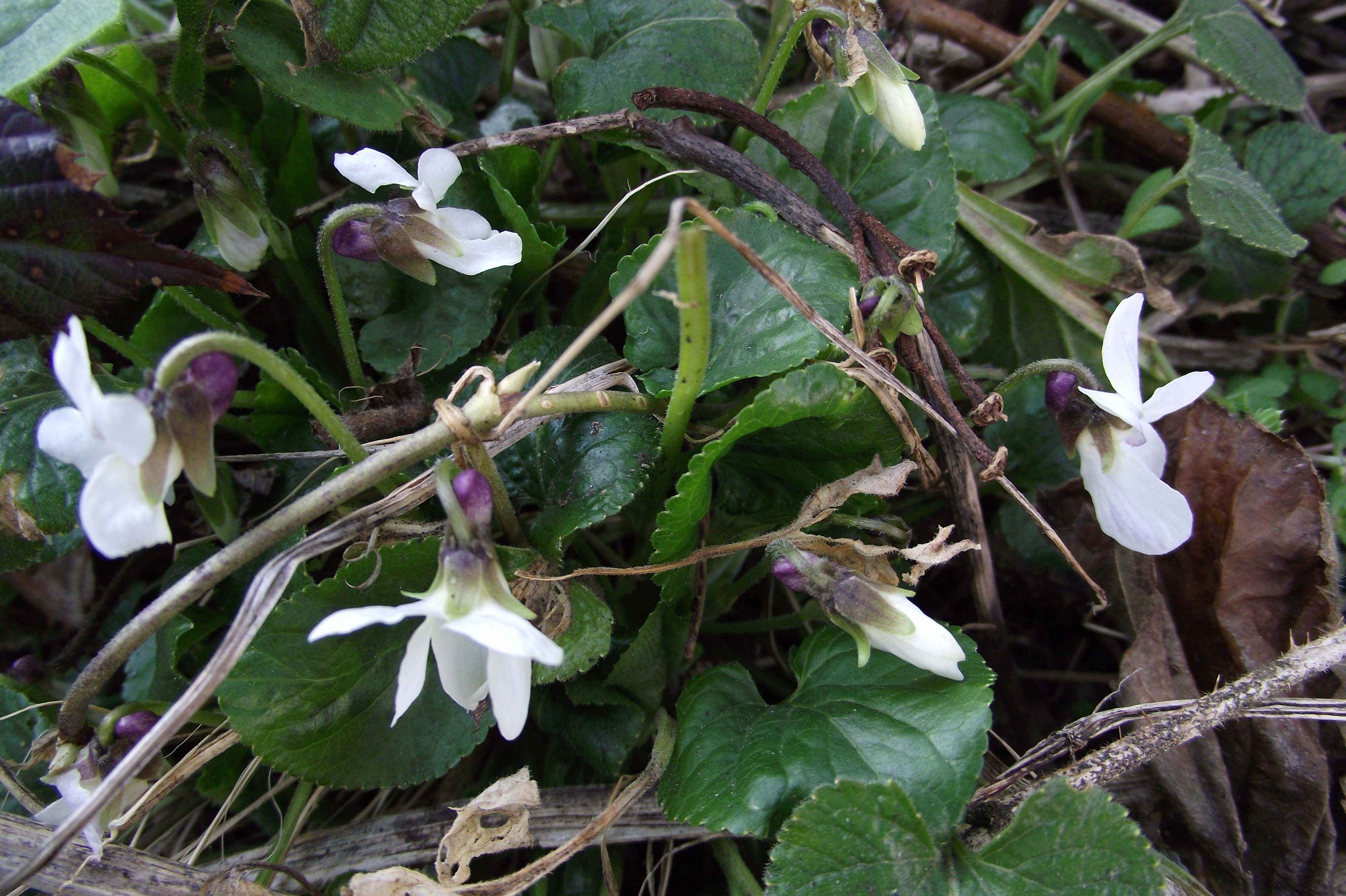 How to Get Rid of Wild Violets in Your Lawn