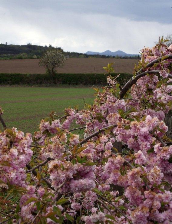 Trimontium and cherry blossom