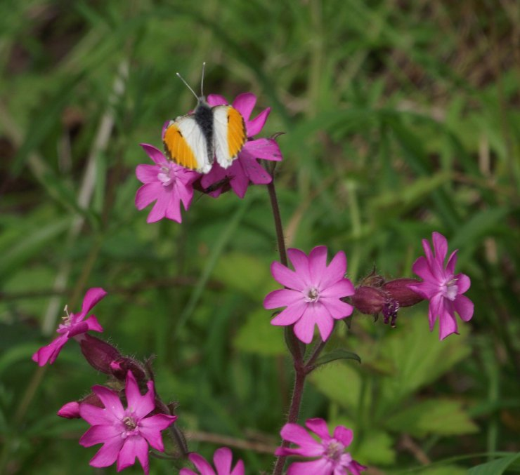 Orange Tip and Red Campion 1