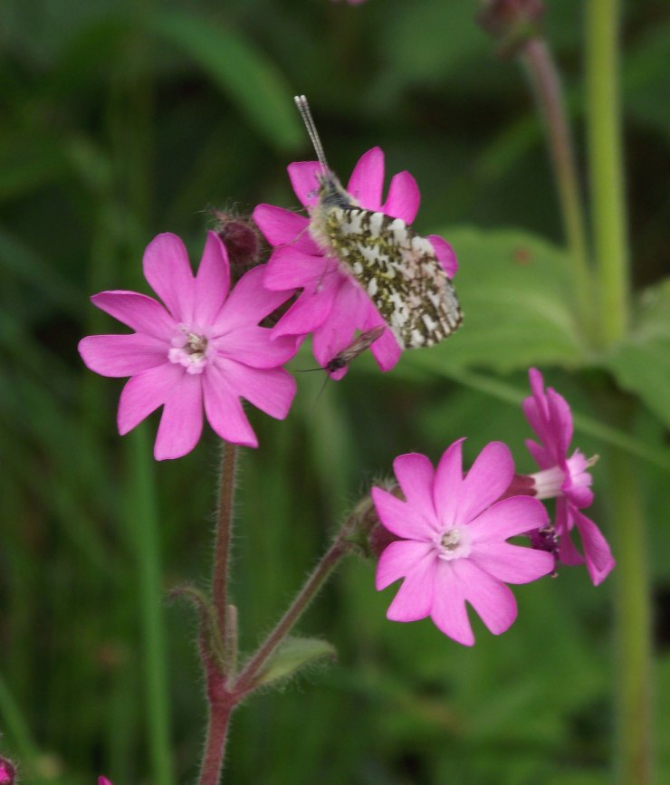 Orange Tip and Red Campion 2