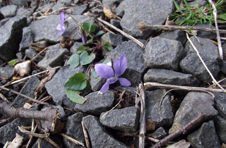 violets and stones