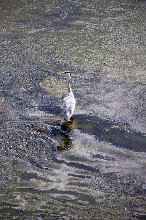 Heron in River Tweed 1