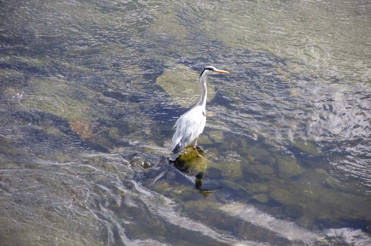 Heron in River Tweed 2