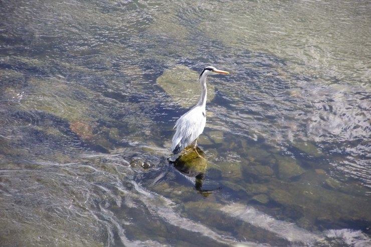 Heron in River Tweed 2