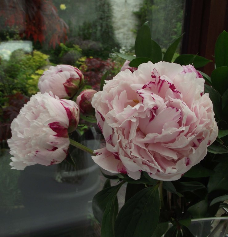Peonies for my Birthday 1