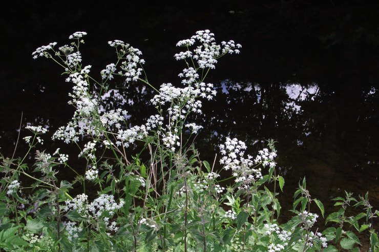 Cow parsley by River Leet