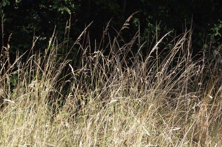 Sunlit Grasses 1