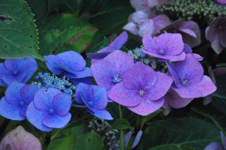 hydrangeas in october