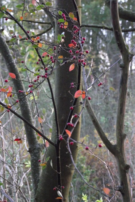 Red Leaves, Dark Branches
