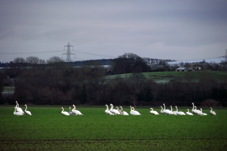 Overwintering Swans 1