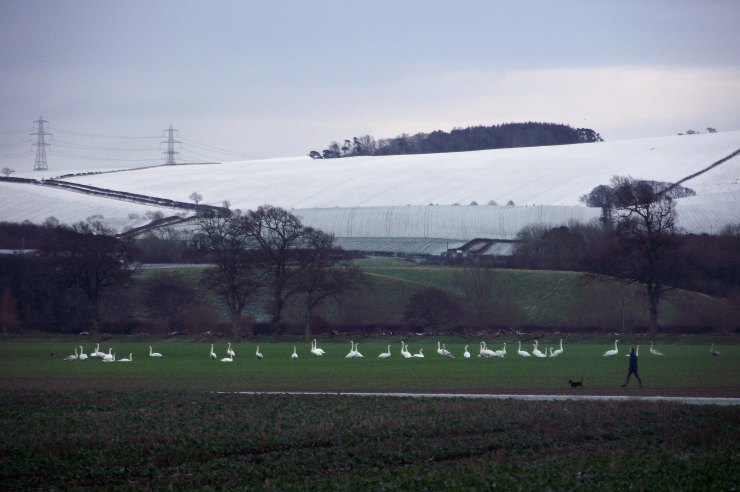 Overwintering Swans 2