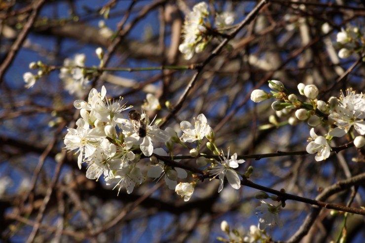 afirst blossom