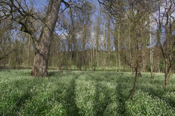 wild garlic by the river