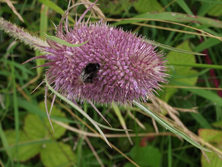 bee and teasel