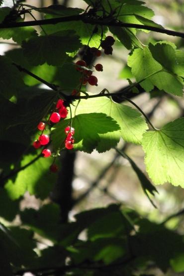 berriesinaugust
