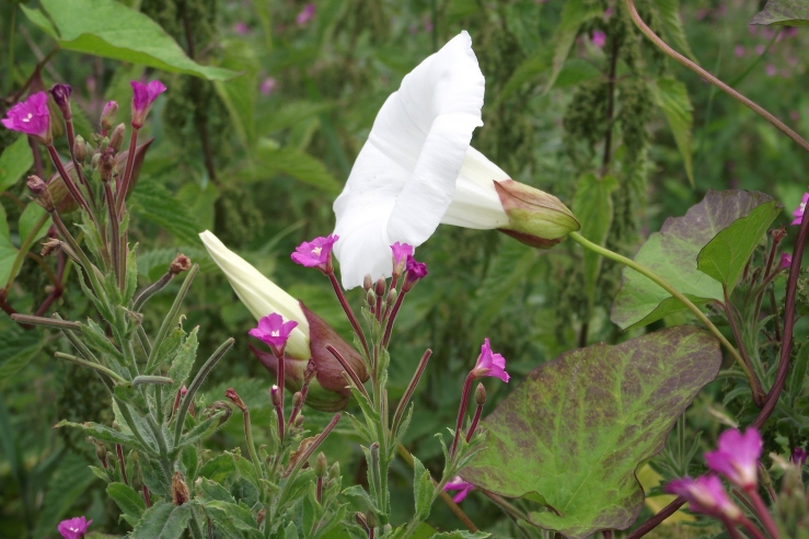 convolvulus and greater willow herb