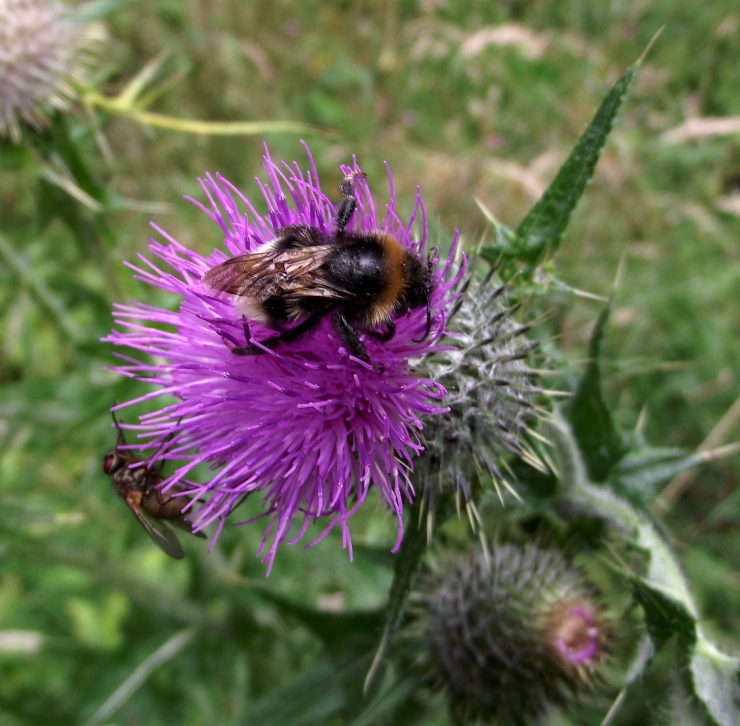 thistle visitors