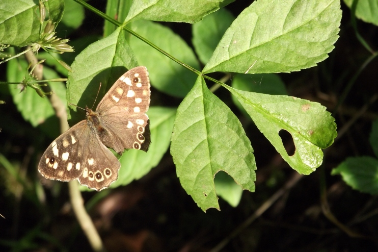 speckled-wood-butterfly-with-damaged-wing
