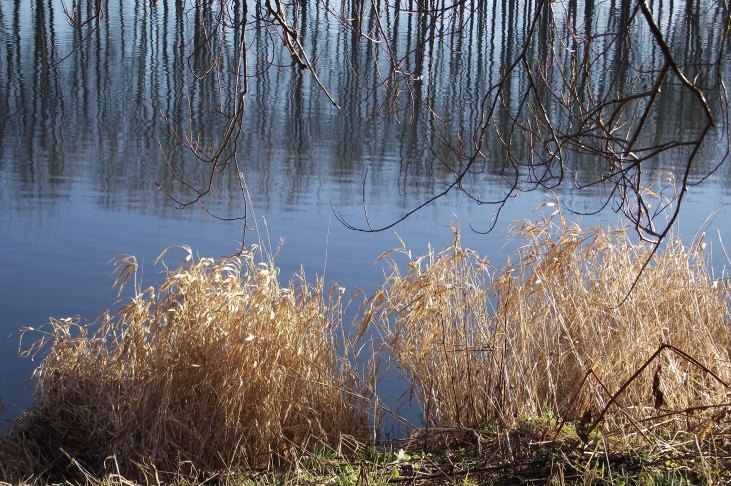 reeds and reflections 1.jpg