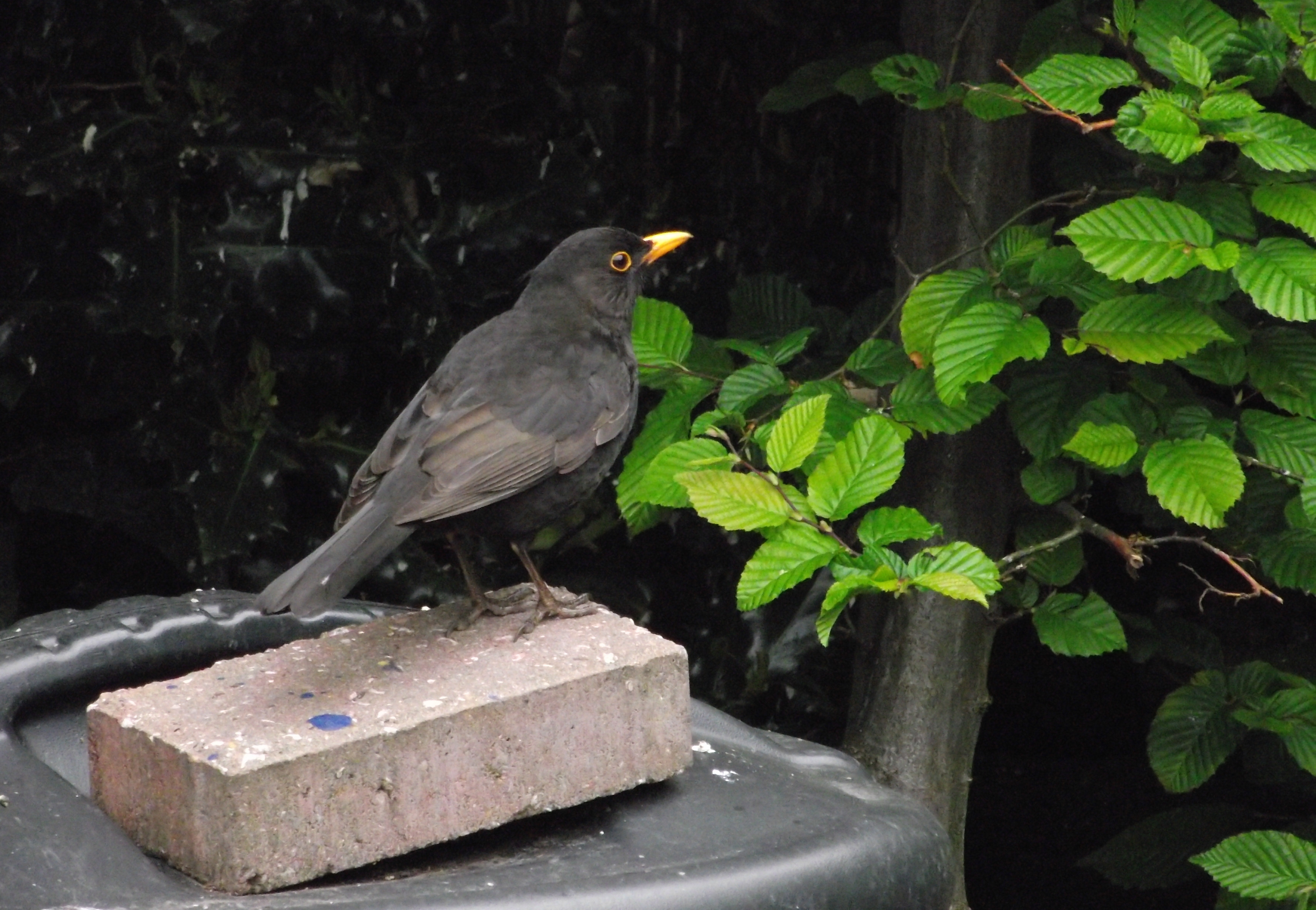 blackbirdonbrick