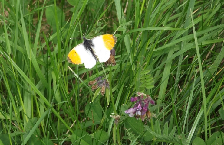 orange tip and vetch