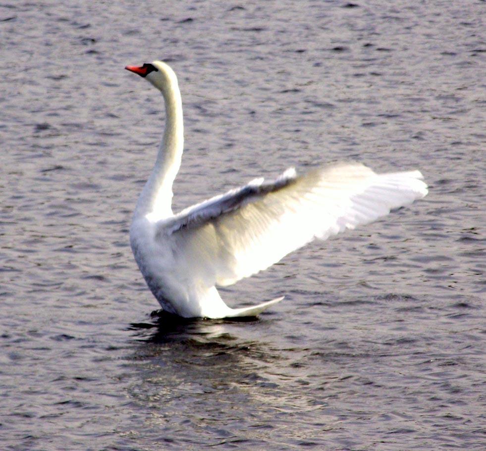 Swan on the Tweed